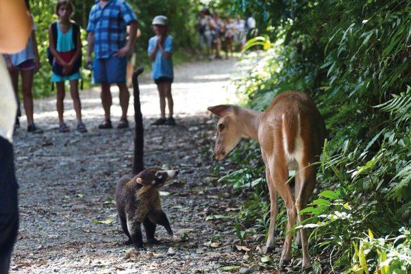 Rencontre d'un Bambi et d'un coatie
