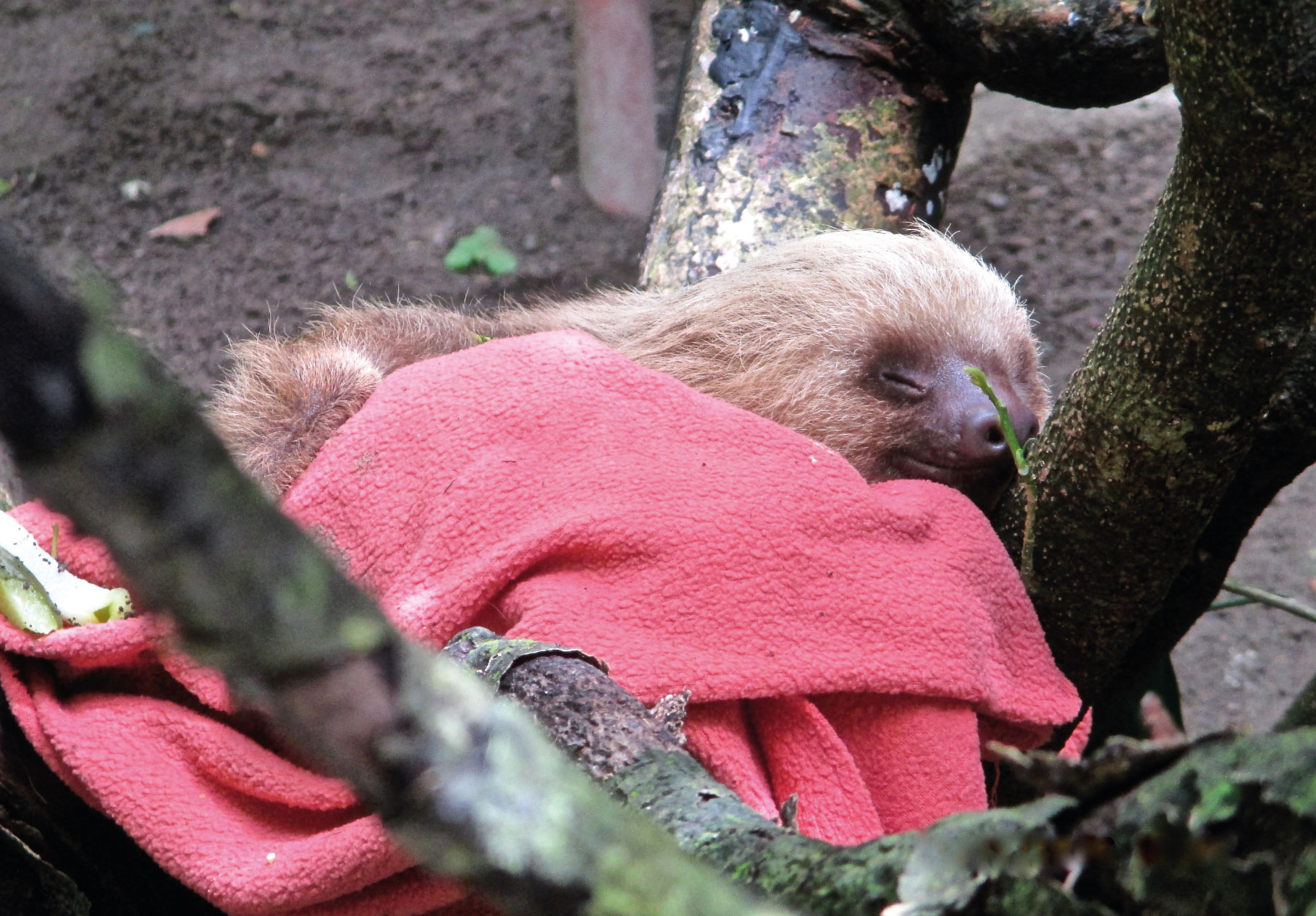 Bébé paresseux au repos